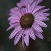 Full-bloom coneflower