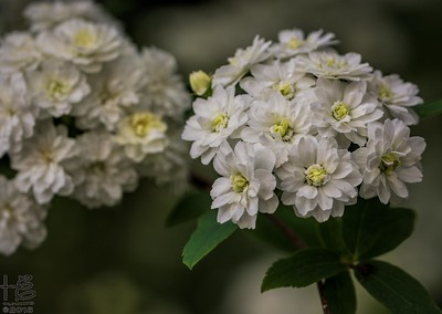 Tiny flower clusters