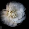 Full-bloom white camellia - desaturated