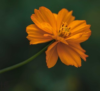 Lovely cosmos