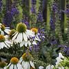 Coneflower mini-garden