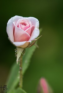 Young rose bud bloom