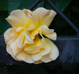 Wilting yellow rose