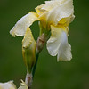 Light yellow daffodil