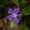 Vinca herbacea
