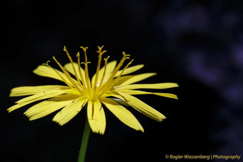 Aposeris fontida