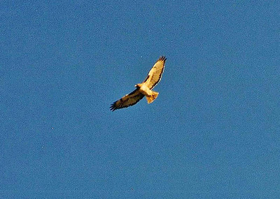 11/16/02 Red-Tailed Hawk (Buteo jamaicensis). Abalone Cove, Los Angeles County, CA