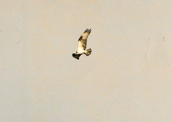 11/16/02 Osprey (Pandion haliaetus). Abalone Cove, Los Angeles County, CA