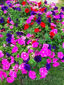 6155-Petunias