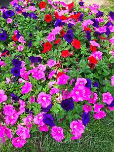 6156-Petunias