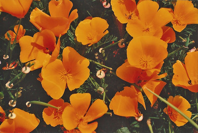 April 1992. California Poppies (Eschscholzia californica). Antelope Valley Poppy Reserve, Antelope Valley, N. Los Angeles County, CA