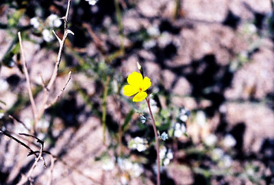 2/27/05 Little Gold Poppy (Eschscholzia minutiflora). San Felipe Wash, California Native Plant Society (Riverside-San Bernardino Chapter) field trip. Anza Borrego Desert State Park, Imperial County, CA