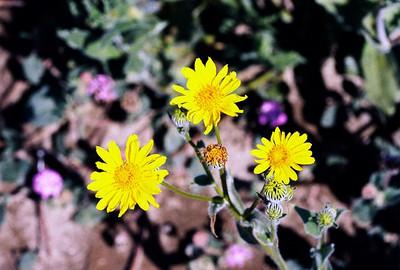 2/27/05 Desert Sunflower (Geraea canescens). Henderson Cyn Rd. California Native Plant Society Field Trip (Riverside-San Bernardino Chapter). Anza Borrego Desert State Park, Imperial County, CA