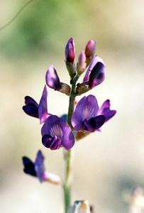 2/27/05 Borrego Milkvetch (Astragalus lintiginosus var. borreganus). Henderson Cyn Rd. California Native Plant Society Field Trip (Riverside-San Bernardino Chapter). Anza Borrego Desert State Park, Imperial County, CA