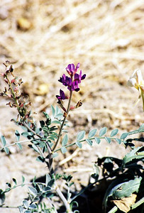 2/27/05 Borrego Milkvetch (Astragalus lintiginosus var. borreganus). Henderson Cyn Rd. California Native Plant Society Field Trip (Riverside-San Bernardino Chapter). Anza Borrego Desert State Park, Imperial County, CA
