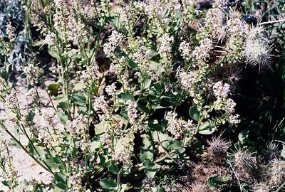 2/27/05 Spectacle Pod (Dithyrea californica). San Felipe Wash, California Native Plant Society (Riverside-San Bernardino Chapter) field trip. Anza Borrego Desert State Park, Imperial County, CA