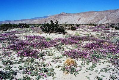 3/7/04 Desert Sand Verbena (Abronia villosa). Coyote Canyon. Anza Borrego Desert State Park, Imperial County, CA