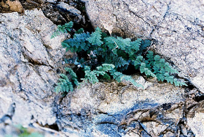 2/27/05 California Cloak Fern (Cheilanthes parryi). Nude Wash. California Native Plant Society (Riverside-San Bernardino Chapter) field trip. Anza Borrego Desert State Park, Imperial County, CA
