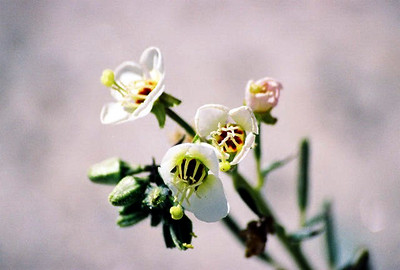 3/7/04 Brown-Eyed Evening Primrose (Camissonia claviformis). DiGiorgio Rd, south of Henderson Canyon Rd. Anza Borrego Desert State Park, Imperial County, CA