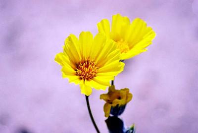 3/7/04 Desert Sunflower (Geraea canescens). DiGiorgio Rd, south of Henderson Canyon Rd. Anza Borrego Desert State Park, Imperial County, CA