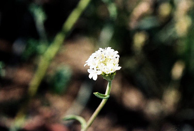 2/27/05 White Chaenactis (Chaenactis artemisiifolia) . Henderson Cyn Rd. California Native Plant Society Field Trip (Riverside-San Bernardino Chapter). Anza Borrego Desert State Park, Imperial County, CA