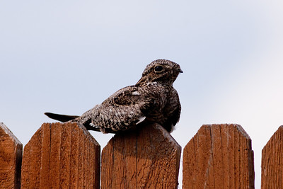 Common Nighthawk, Chordeiles minor Kyle, TX