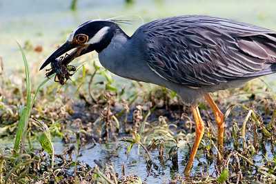 Yellow-crowned Night Heron, Nyctanassa violacea Brazos Bend State Park Needville, TX