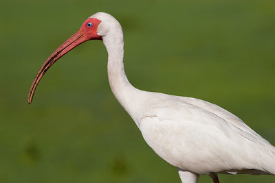 White Ibis, Eudocimus albus Brazos Bend State Park Needville, TX