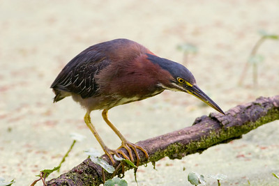 Green Heron, Butorides virescens Brazos Bend State Park Needville, TX