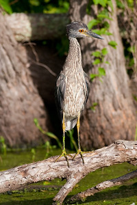 Yellow-crowned Night Heron (1st Summer), Nyctanassa violacea Brazos Bend State Park Needville, TX