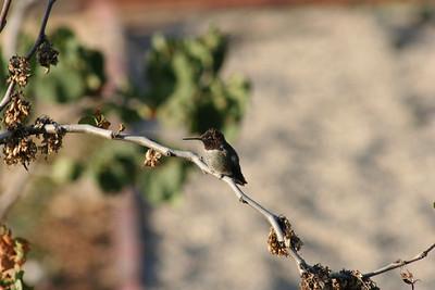7/28/08 Black-Chinned Hummingbird (Archilochus alexandri).  Kyle Court Property, La Cresta, Murrieta, SW Riverside County, CA