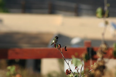 BIRDS: Hummingbirds (Trochilidae)