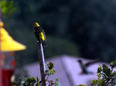 8/21/08 Western Tanager (Piranga ludoviciana). Kyle Court, La Cresta, Murrieta, SW Riverside County, CA