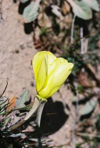 3/26/05 Yellow Evening Primrose (Oenothera primiveris). Johnson Valley OHV Area, Ord Mountain Turnoff. San Bernardino County, CA