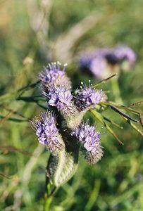 3/26/05 Phacelia species. Roadside west off Hwy 247 from Barstow, just south of disposal station, OHV track. Barstow to Lucerne Valley, San Bernardino County, CA