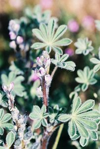 3/26/05 Bajada Lupine (Lupinus concinnus). Roadside west off Hwy 247, south of Stoddard Wells Village. Barstow to Lucerne Valley, San Bernardino County, CA