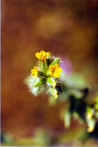 3/26/05 Checker Fiddleneck (Amsinckia tessellata). Hwy 247, Barstow to Lucerne Valley, OHV track 1 mile north  of disposal station. San Bernardino County, CA