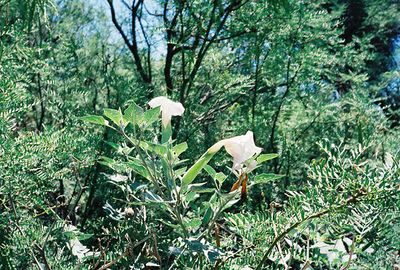 7/27/97 Jimson Weed (Datura spp). Mesquite Trail (?). Big Morongo Canyon Preserve. Little San Bernardino Mountains, Morongo Valley, San Bernardino County, CA