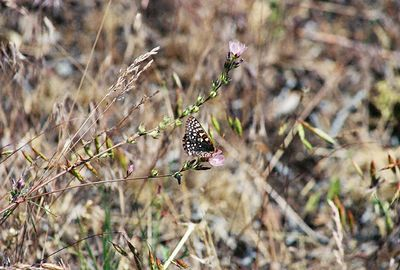 7/3/05 Edith's Checkerspot (Euphydryas editha). Big Sage Reservoir, Devil's Garden Natural Area, Modoc County, CA