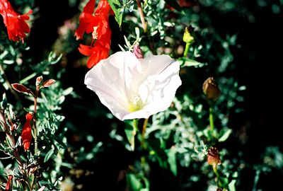 8/18/04 Wild Morning Glory (Calystegia macrostegia). Big Sur Coast (north of town of Big Sur off PCH). Monterey County, CA