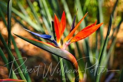 7678-Bird of Paradise