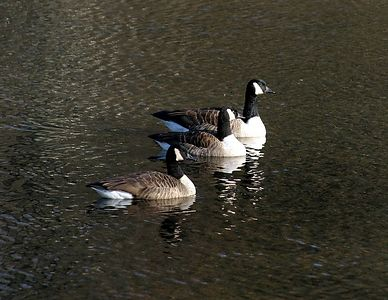 geese0703