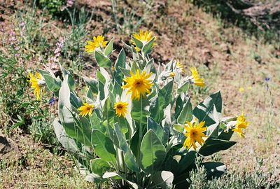 7/4/05 Mules Ears (Wyethia mollis). Forest Service Rd 64 (unpaved portion bet. Blue Lake turnoff from Cty Rd 258 and Patterson)  @Modoc & Lassen Cty lines, NE California