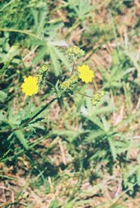 7/4/05 Slender Cinquefoil (Potentilla gracilis)? . Blue Lake, Modoc National Forest, Warner Mtn Ranger District, CA