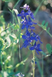 7/4/05 Anderson's Larkspur (Delphinium andersonii). Forest Service Rd 64 (unpaved portion bet. Blue Lake turnoff from Cty Rd 258 and Patterson)  @Modoc & Lassen Cty lines, Modoc National Forest, Warner Mtn Ranger District, CA