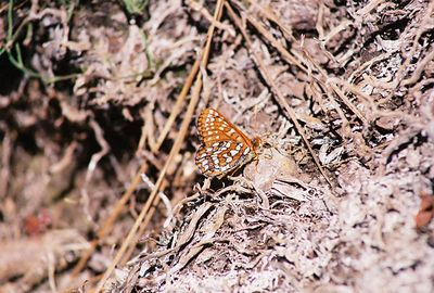 7/4/05 Edith's Checkerspot (Euphydryas editha). Blue Lake.