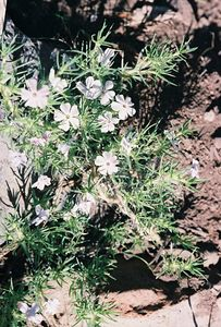 7/4/05 Unidentified Phlox. Forest Service Rd. 64 (unpaved rd to Patterson), Modoc National Forest, straddling Modoc & Lassen County lines, NE California