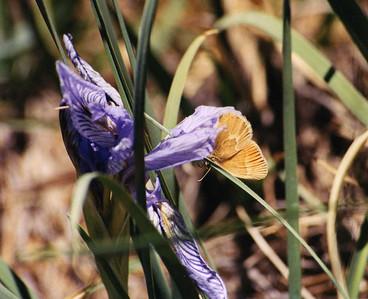 7/5/02 Nelson's Hairstreak? (Callphrys nelsoni). Bodie State Historic Park, Eastern Sierras (>8,000'), Mono County, CA