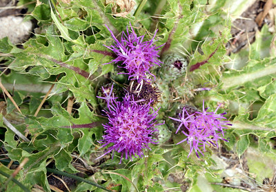 7/6/07 Drummond's Thistle (Cirsium scariosum). Meadow off Bodie Road (marker 169A). Mono County, Eastern Sierra, CA