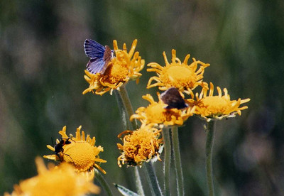 7/5/02 Blue Copper? (Chalceria heteronea). Bodie State Historic Park, Eastern Sierras, Mono County, CA